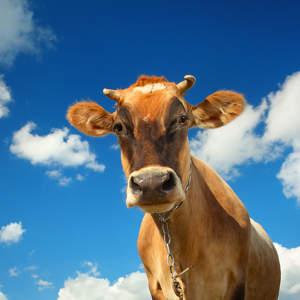 Kuh vor blauen Himmel - muh oder mäh - Entscheidung für gezieltes Targeting im Kanzleimarketing